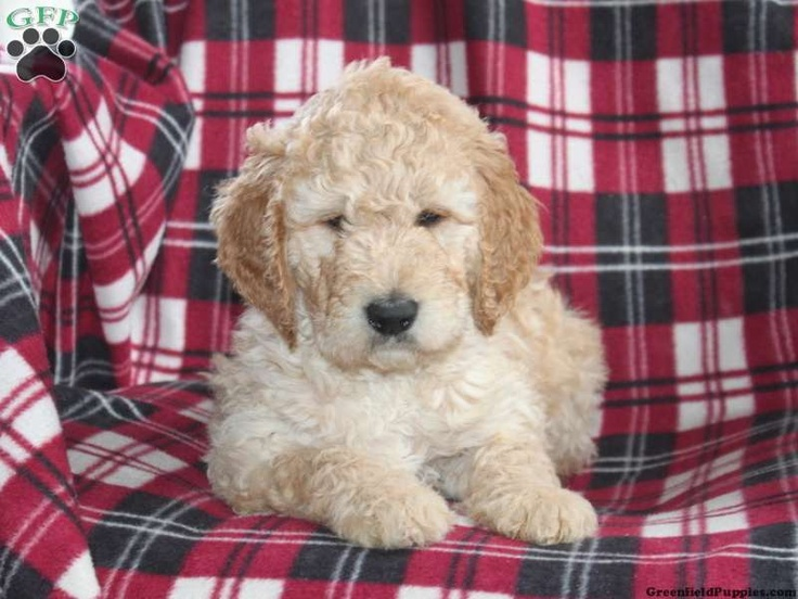 Irish Doodle Puppies For Sale In PA | Animals | Pinterest