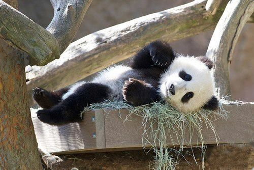 Lazy panda | Hello I'm a Panda | Pinterest