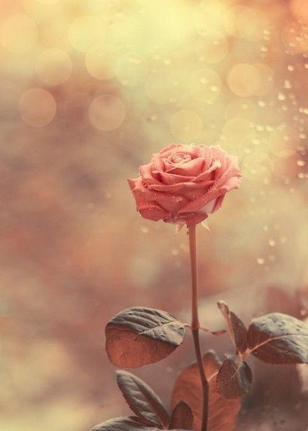 bokah rose