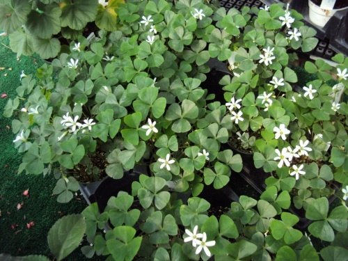 Shamrock plant ireland pinterest - Shamrock houseplant ...