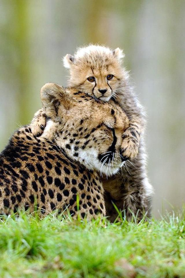 Cheetah momma and cub~