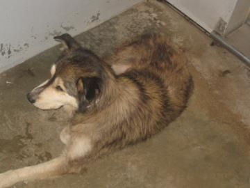 siberian husky wolf dog rescue greenville sc