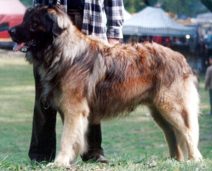 Pin by T S on Leonberger | Pinterest