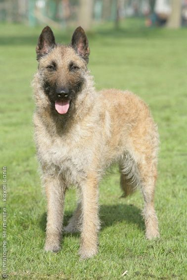 belgian shepherd dog laekenois belgian shepherd dog