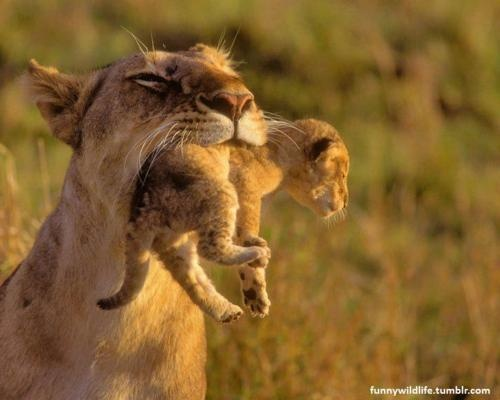 Mommy Lion - I think they are my spirit animal.