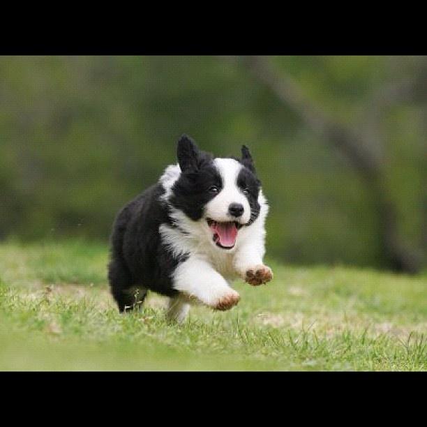 Border Collie  #adorablepuppy  #bordercollie  #iwantone  #border #collie #pic