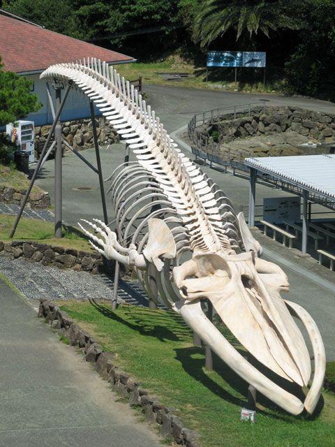 シロナガスクジラの画像 p1_9