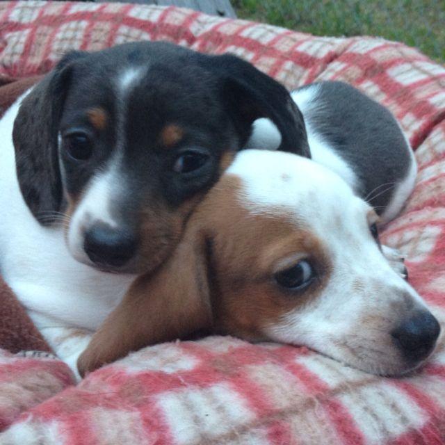 Piebald mini dachshunds | Pets :) | Pinterest