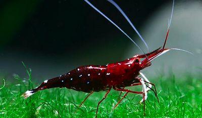 Sulawesi Cardinal Shrimp Shrimp Toast Hobby Shop - beautify your ta ...