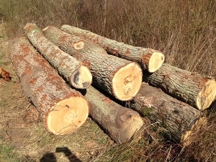 Oak wood tree trees pinterest