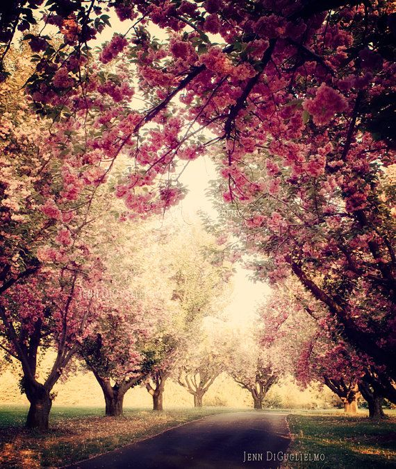 cherry blossom tree grove fine art photography print