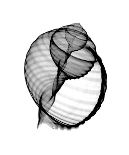 X-ray Seashell by Bert Myers