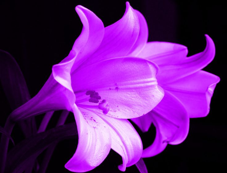 purple lily flower plant-#26