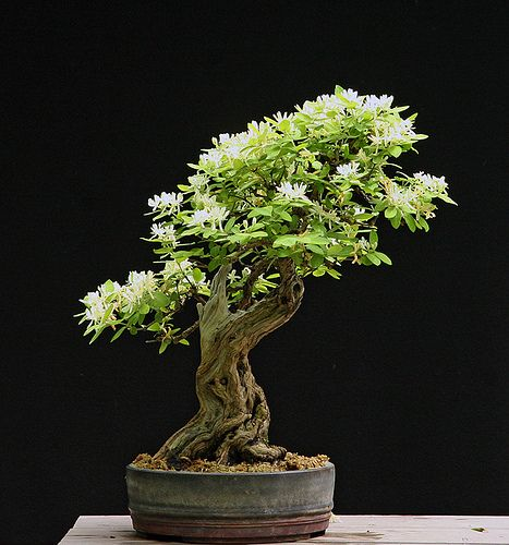 honeysuckle 5 24 11 bonsai pinterest. Black Bedroom Furniture Sets. Home Design Ideas