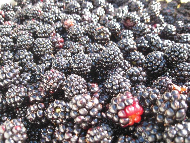 and blackberries recipes dishmaps cotta with blackberries blackberries ...