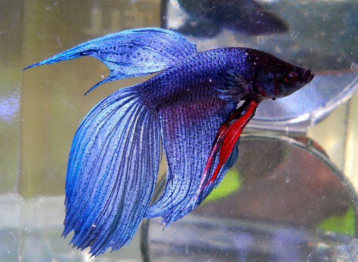 White dragon king crown betta serious about blue for Crown betta fish