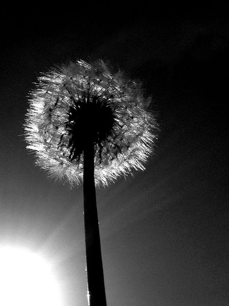 Dandelion Black And White