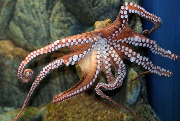 Octopus Eating Itself Octopus Eating Itself