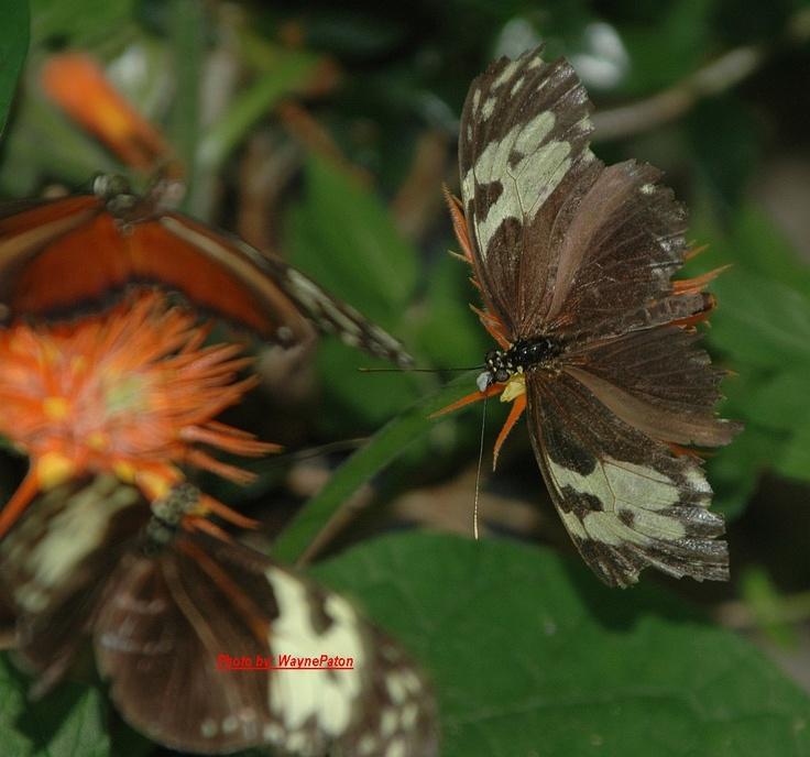 butterfly conservatory niagara falls butterflys pinterest. Black Bedroom Furniture Sets. Home Design Ideas
