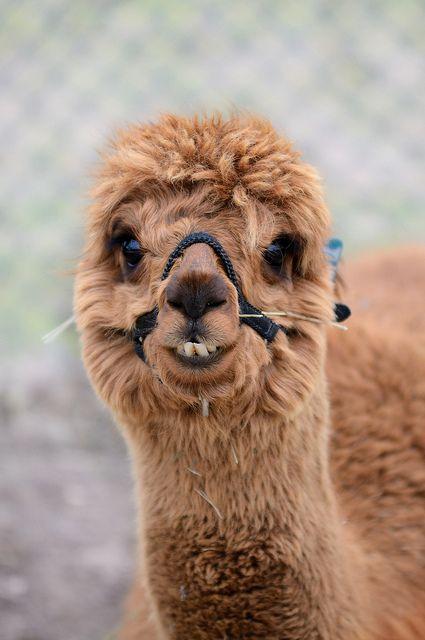 Smilin' Alpaca | Creatures & Critters | Pinterest