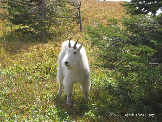 Mountain goat in Glacier National Park, Montana | Flora & Fauna ...: pinterest.com/pin/93379392243574733