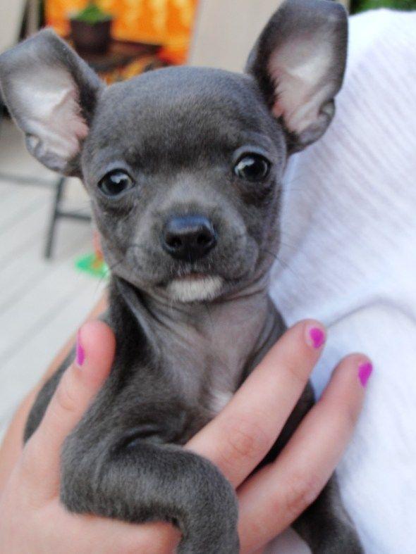 ~ Blue Chihuahua ~   awwww....   Pinterest