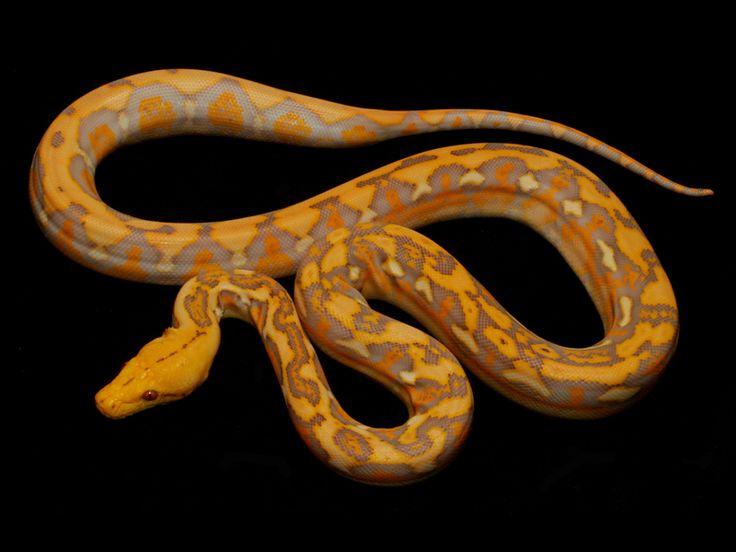 Lavender albino tiger reticulated python - photo#23