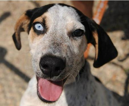 JIMI, click pic for more info - Breed: Catahoula/Blue Heeler Mix ...