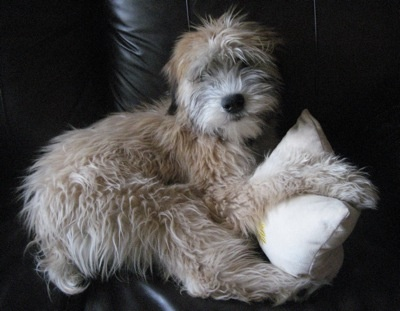 Soft coated wheaton terrier -