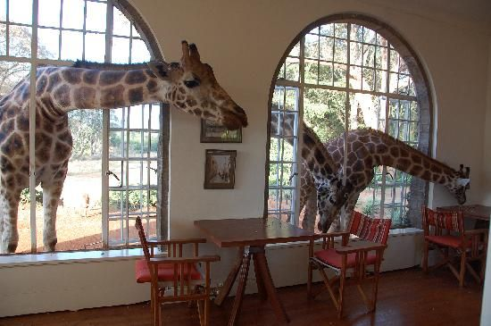 Giraffe Manor: Breakfast time. #giraffes- I just think this would be a great place to go or gift to someone to go to