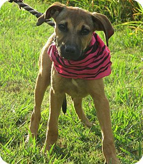 black mouth cur photo | Black Mouth Cur Mix Dog for adoption in Leland