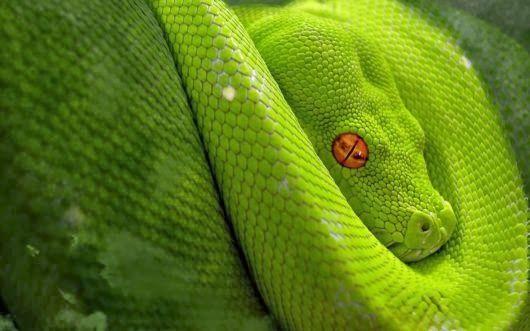 red snake eyes