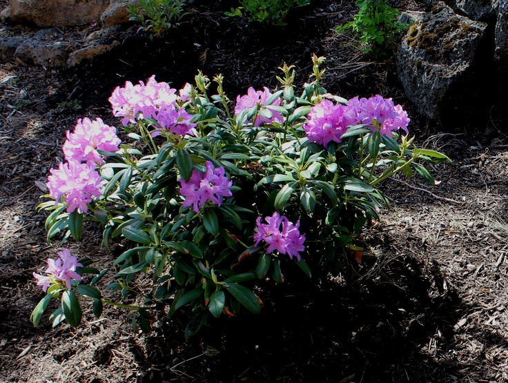 cat boursault rhododendron usda hardiness zone 4 5 evergreen shrub height 6 8 39 x spread 6 8. Black Bedroom Furniture Sets. Home Design Ideas