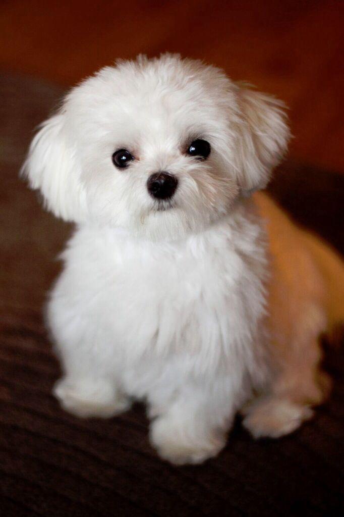 Fluffy white dogs for Fluffy little dog breeds