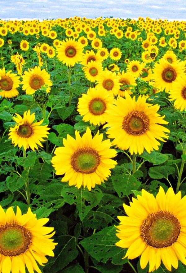 Sunflower Field Taking A Journey Pinterest
