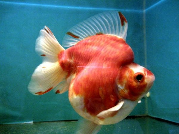 Ryukin sakura gold fish carassius pinterest for Ornamental pond fish for sale