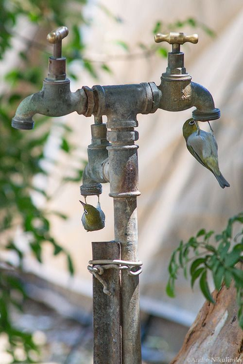 clusterpod:      Silvereyes, Zosterops lateralis, making use of the dripping taps on a 40˚ day.        (Ed. note - that's 40 degrees Celsius! In Australia)