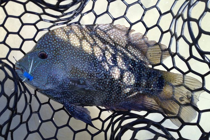 Rio Grande Cichlid from the Guadalupe River in Comfort, Texas