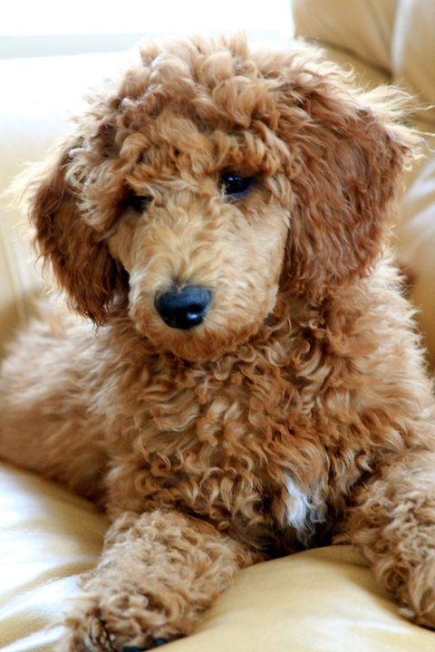 my sweet apricot standard poodle pup | Poodle 1 | Pinterest