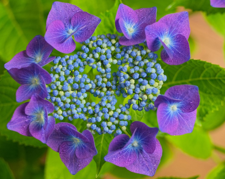 Purple Hibiscus Backyard Snob : Purple Hibiscus  HIBISCUS  Pinterest