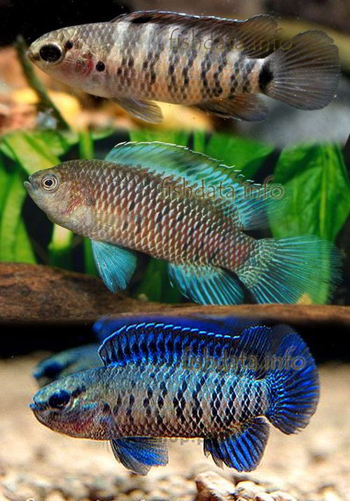 Badis badis i dream of fish tanks pinterest for Dream of fish tank