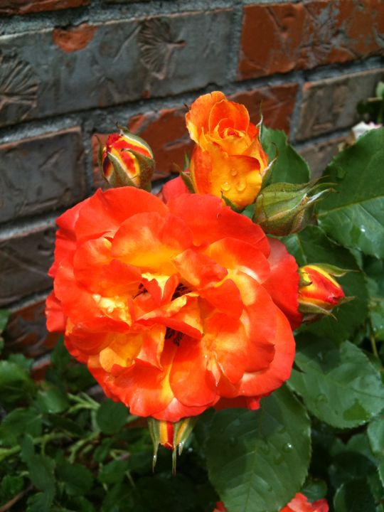 Pin by lisa alford on my own little peace of heaven for Multi colored rose bushes