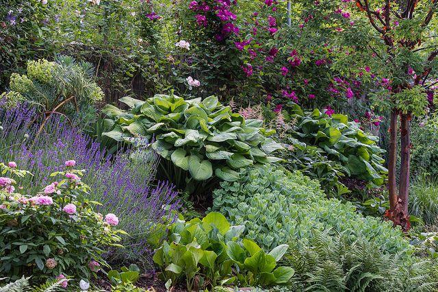 Hosta mix guacamole Garden Plans Slope Pinterest