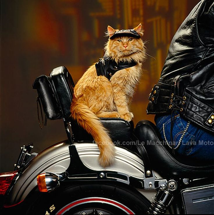 Cat Riding Motorcycle Video