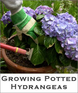 Growing potted hydrangeas
