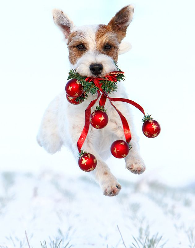Le Parson Russell Terrier 6a449699f3fa3f040e47aa2e0c6237ef