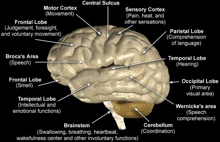 Anatomy of human brain and its functions