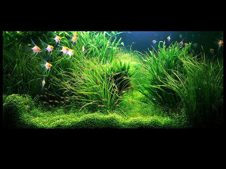 Amano aquascape Fishy Pinterest