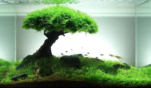 60L Aquascape Android- Its dead wood with Singapore moss (Vesicularia ...