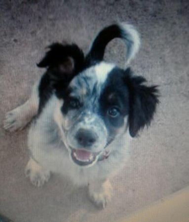 Border Collie Blue Heeler Mix Puppies